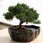 Zen Reflections Juniper Bonsai