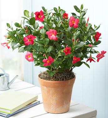 mandevilla plant